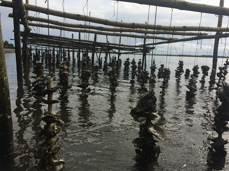 Simple spat collectors of oysters shells threaded onto strings and hung from frames in the intertidal zones
